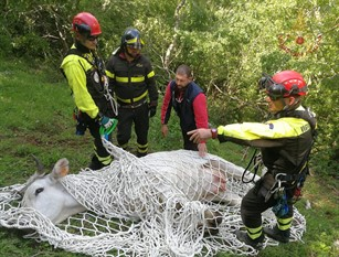 Sesto Campano, recuperata mucca in un dirupo (video) Dai vigili del fuoco,in località Colle Rotondo