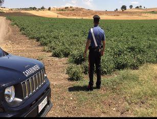 Contrasto al lavoro nero nei campi. Carabinieri denunciano un imprenditore