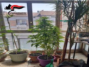 Coltivava marjuana sul balcone di casa: denunciato